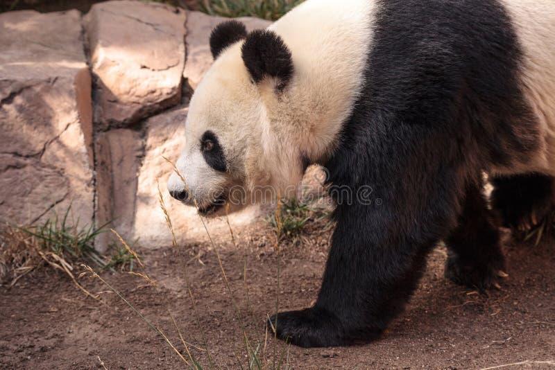 De reuzepanda draagt gekend als Ailuropoda-melanoleuca stock fotografie