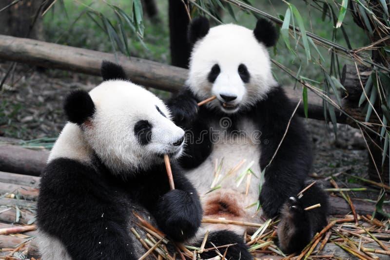 De ReuzePanda van China royalty-vrije stock fotografie