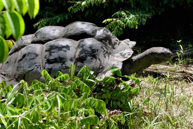 De reuzeschildpad van Aldabra stock afbeeldingen