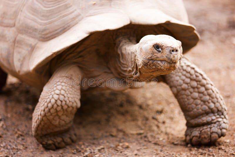 De reuzeschildpad van de Galapagos royalty-vrije stock foto