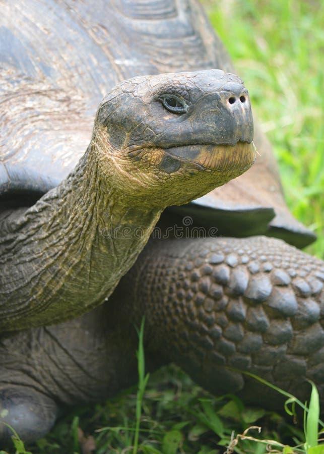 De Reuzeschildpad van de Galapagos bij de boerderij van Gr Chato/Los Primativos op Santa Cruz-eiland, de Galapagos, Ecuadror royalty-vrije stock fotografie