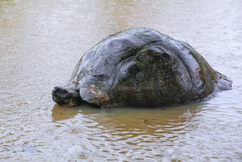 De reuzeschildpad van de Galapagos in een vijver op Santa Cruz Island in Galap royalty-vrije stock afbeeldingen