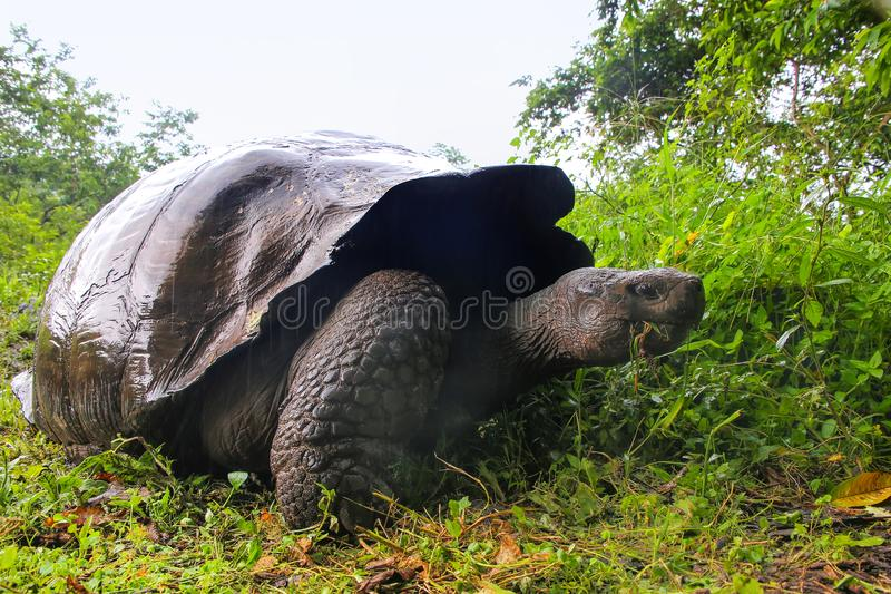 De reuzeschildpad van de Galapagos op Santa Cruz Island in de Galapagos Natio royalty-vrije stock foto's