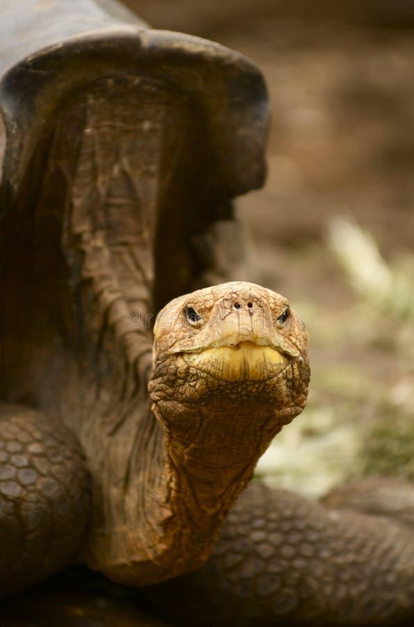 De ReuzeSchildpad van het Eiland van de Galapagos - nigra Geochelone stock foto's