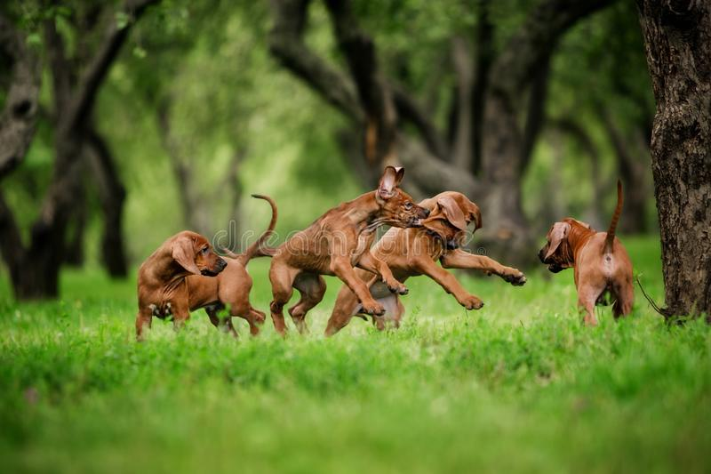 De Rhodesian ridgeback puppy stellen in openlucht en hebben pret in werking stock foto