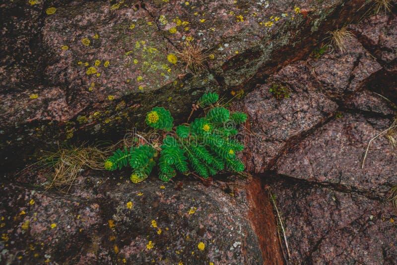 De Rhodiola del rosea de las plantas fondo verde al aire libre fotografía de archivo libre de regalías