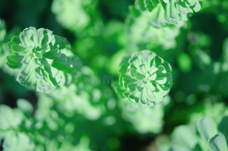 De Rhodiola del rosea de las plantas fondo verde al aire libre Esta flor tiene efecto m?dico fuerte fotografía de archivo