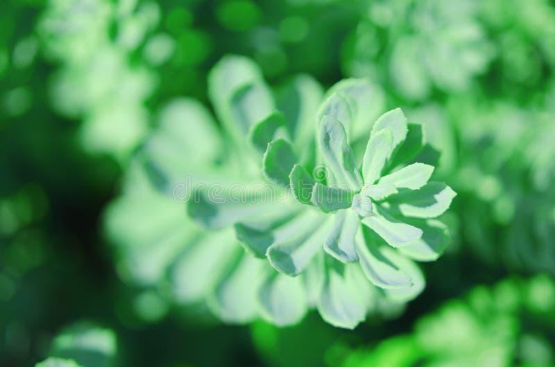 De Rhodiola del rosea de las plantas fondo verde al aire libre Esta flor tiene efecto m?dico fuerte foto de archivo libre de regalías