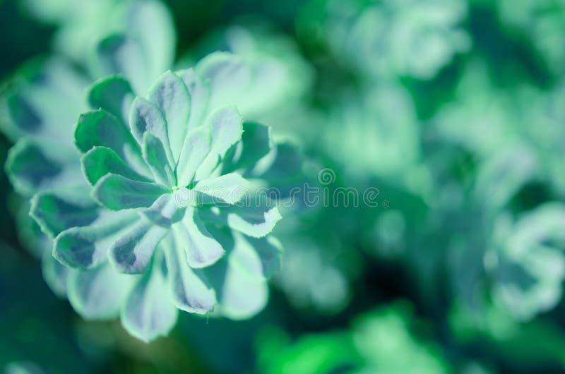 De Rhodiola del rosea de las plantas fondo verde al aire libre Esta flor tiene efecto m?dico fuerte imágenes de archivo libres de regalías