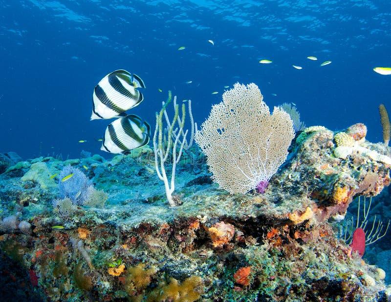 De Richel van de ertsader met Gestreepte Butterflyfish in voorgrond stock foto's