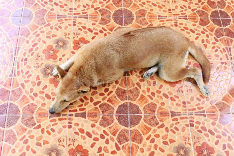 De Ridgebackhond bruine Aziatische Thai slaapt Hoogste mening over de grond van de cementvloer stock afbeelding