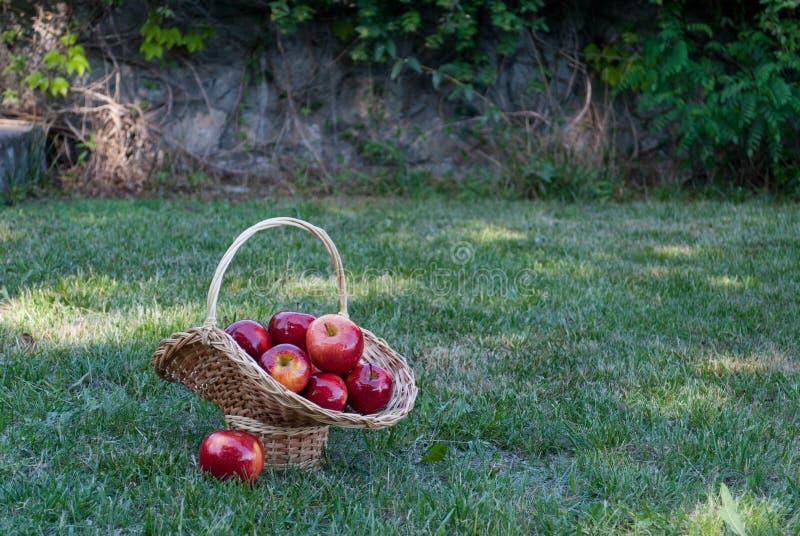 De rieten mand is geweven van wijnstokken met rode appelen op de achtergrond van groen gras, rode rijpe vruchten, rieten stro royalty-vrije stock afbeelding