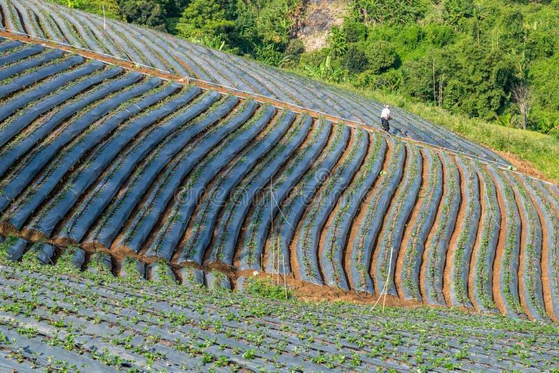 De rij van bloemkool ontspruit gebied royalty-vrije stock foto's