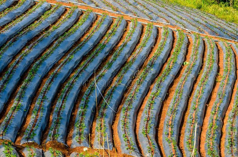 De rij van bloemkool ontspruit gebied stock afbeeldingen