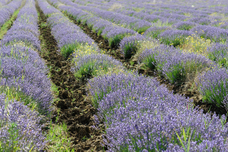 De Rijen van de lavendel royalty-vrije stock foto