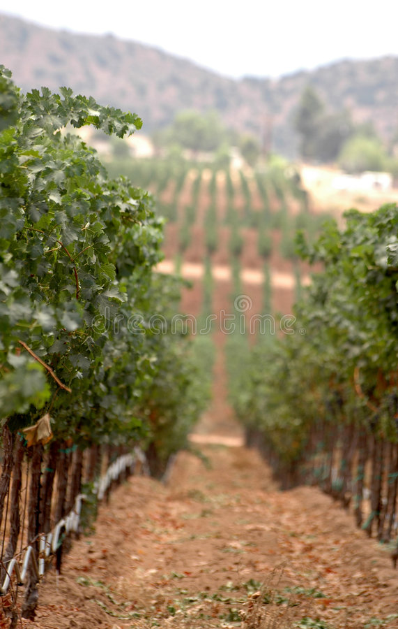 De Rijen van de wijngaard royalty-vrije stock afbeelding