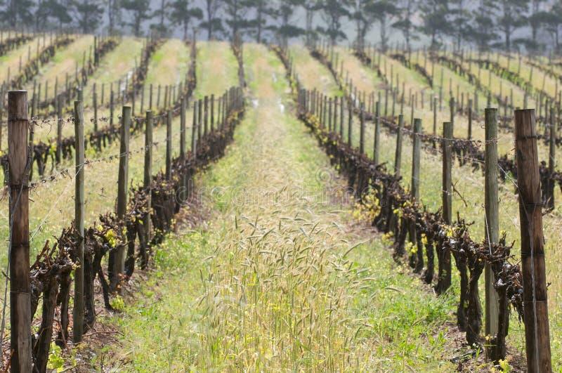 De rijen van de wijnstok royalty-vrije stock foto's