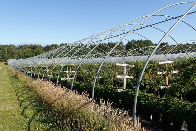 De rijen van frambozeninstallaties bij een ` plukken uw eigen `-landbouwbedrijf dichtbij Nairn stock foto's