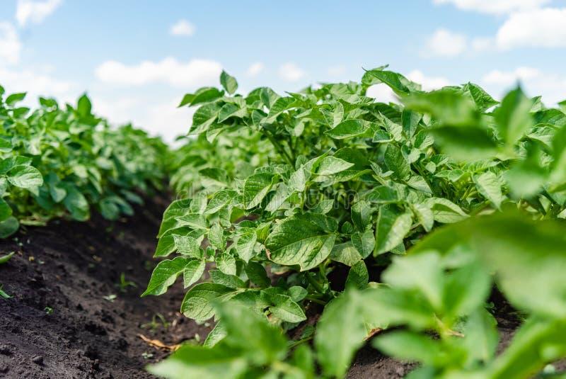De rijen van het aardappelgebied met groene struiken, sluiten omhoog royalty-vrije stock afbeeldingen