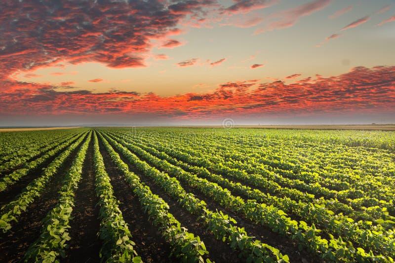 De Rijen van het sojaboongebied in zonsondergang royalty-vrije stock fotografie