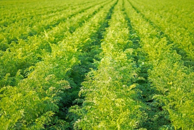 De Rijen van het wortelengebied Landbouw Organische Wortelen Wortelen op het Gebied royalty-vrije stock foto's