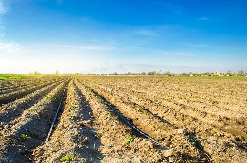 De rijen van jonge aardappels groeien op het gebied Druppelbevloeiing Het ploegen van het gebied Landelijke aanplantingen Landbou royalty-vrije stock afbeelding