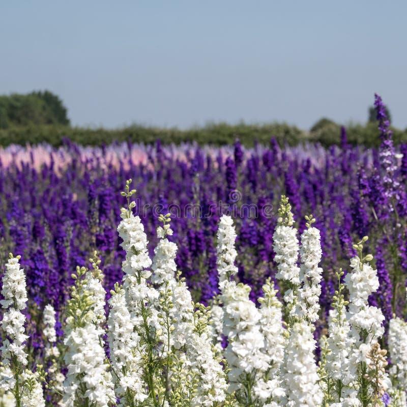 De rijen van kleurrijk ridderspoor bloeit in Wiek, Pershore, Worcestershire, het UK De bloemblaadjes worden gebruikt om huwelijks royalty-vrije stock foto's