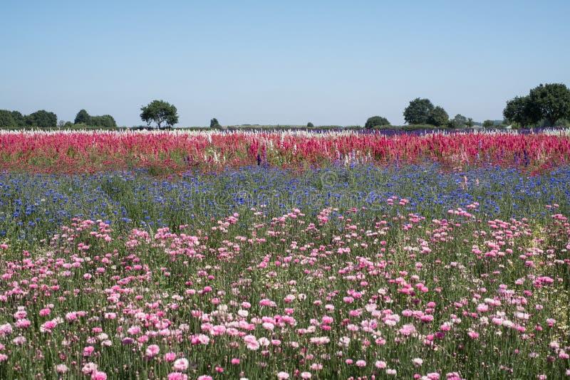 De rijen van de kleurrijke zomer bloeit in Wiek, Pershore, Worcestershire, het UK De bloemblaadjes worden gebruikt om huwelijksco royalty-vrije stock afbeelding