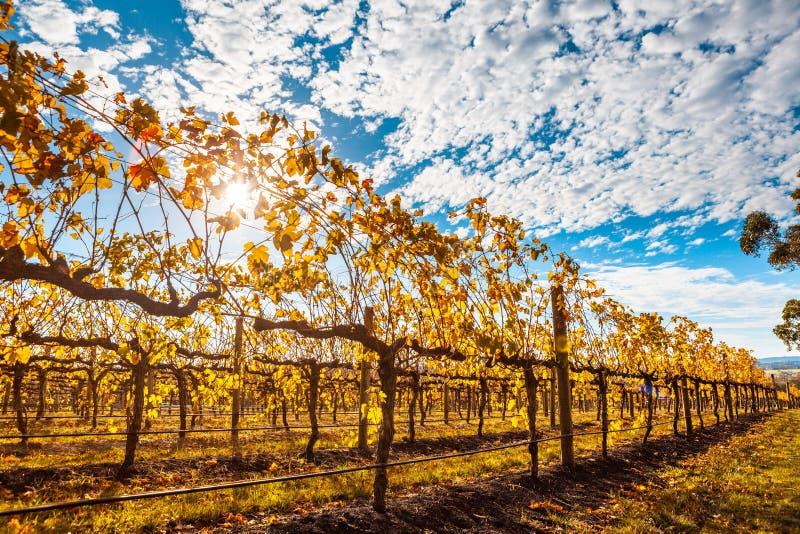 De rijen van wijnstokken met gouden doorbladert stock fotografie