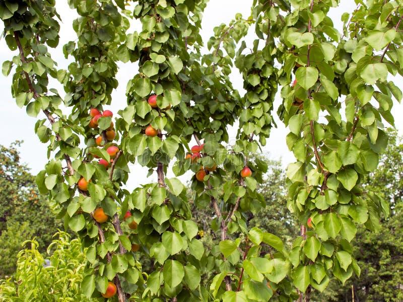 De rijpe abrikozen groeien op een boom in de tuin Oogstvruchten en bessen Sappig en zoet fruit Voedsel voor een vegetariër royalty-vrije stock afbeeldingen