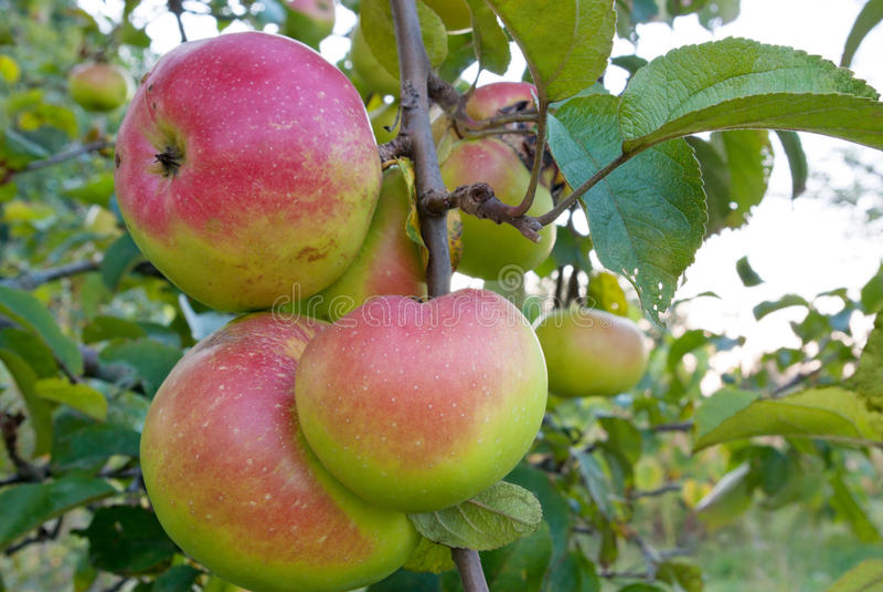 De rijpe appelen groeien op bomen in de tuin royalty-vrije stock foto's