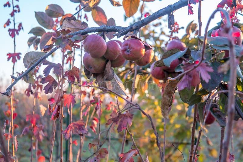 De rijpe appelen groepeert zich hangende hoop op een boomtak in een boomgaard stock foto