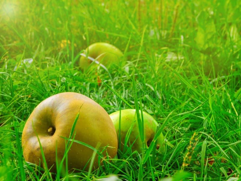 De rijpe appelen vielen van een boom in het gras royalty-vrije stock afbeelding