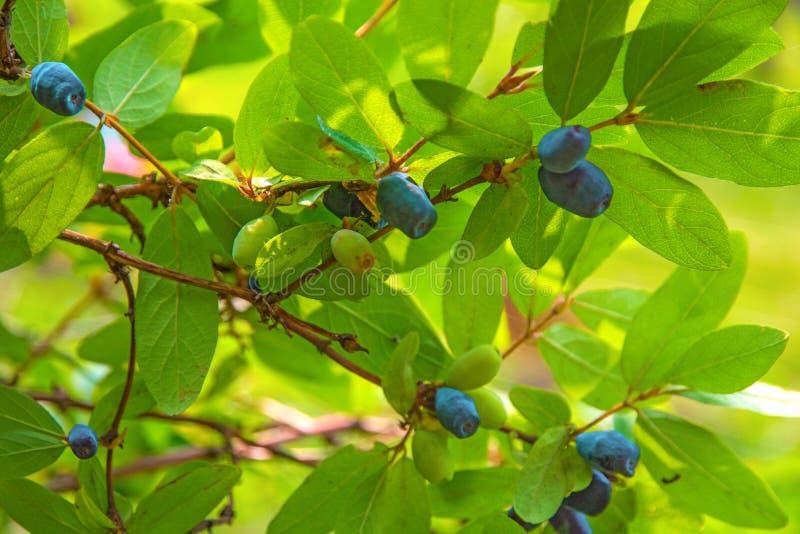 De rijpe, donkerblauwe Kamperfoelie kweekt op Bush allen in groene bladeren stock fotografie