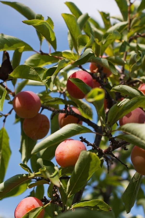 De rijpe pruimen van vruchten royalty-vrije stock foto