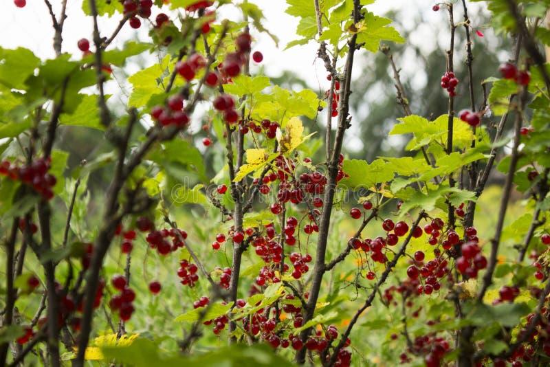 De rijpe rode aalbes groeit op de takken van Bush, nuttige bessen, achtergrond royalty-vrije stock afbeelding