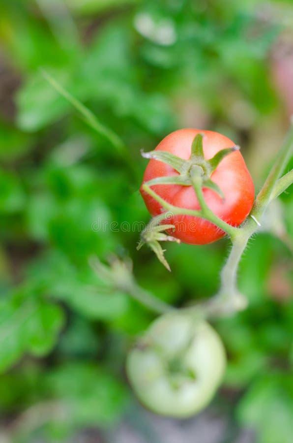 De rijpe rode tomaten zijn op de groene gebladerteachtergrond, die op de wijnstok van een tomatenboom hangen in de tuin royalty-vrije stock foto