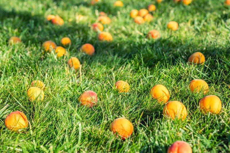 De rijpe smakelijke zoete sappige gevallen abrikozen die in groen grasgazon in fruittuin bij binnenplaats toe te schrijven aan st royalty-vrije stock foto