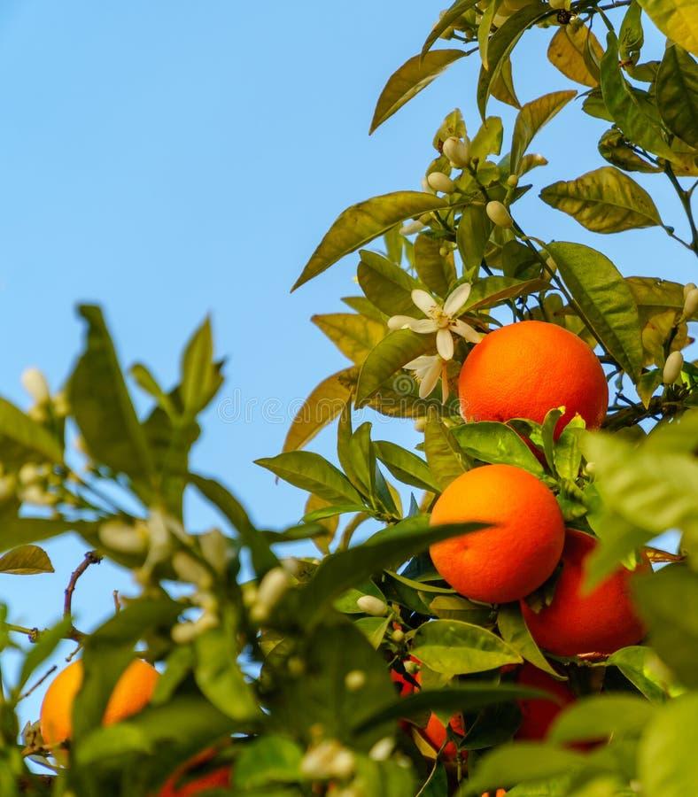 De rijpe trillende sinaasappelen en de bloesems hangen van een boom royalty-vrije stock foto's