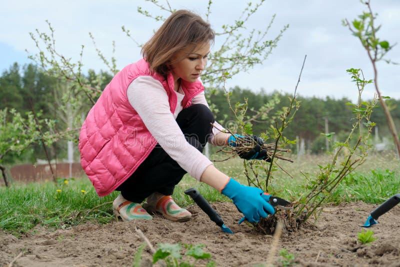 De rijpe vrouw in handschoenen het snoeien nam struiken met tuinsecateur, de lente het tuinieren toe stock afbeeldingen