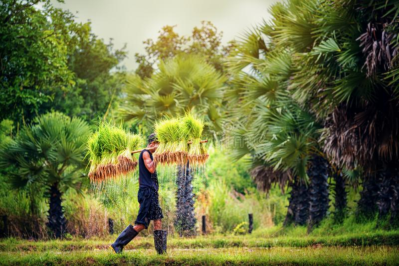 De rijst die, Landbouwers kweekt rijst in het regenachtige seizoen lokale land Thailand bewerken royalty-vrije stock fotografie
