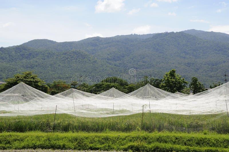 De rijstcultuur van het landbouwbedrijf royalty-vrije stock foto