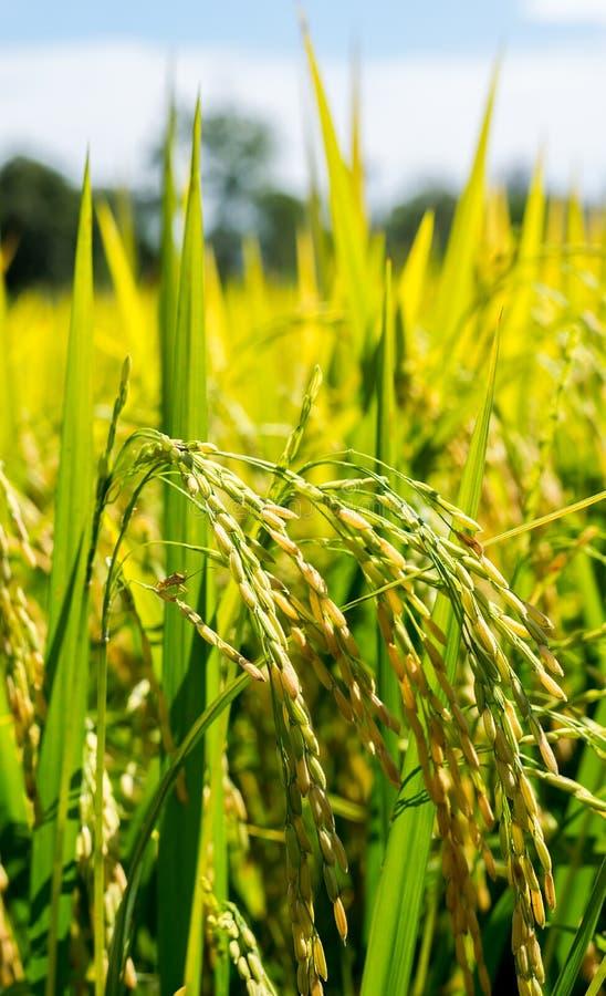 De rijstinstallatie in de gecultiveerde percelen die korrels produceren royalty-vrije stock foto's
