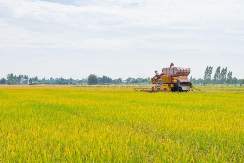 De rijstoogst stock foto's