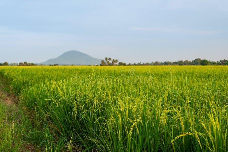 De rijstvelden komen steeds meer in het oogstseizoen terecht royalty-vrije stock fotografie