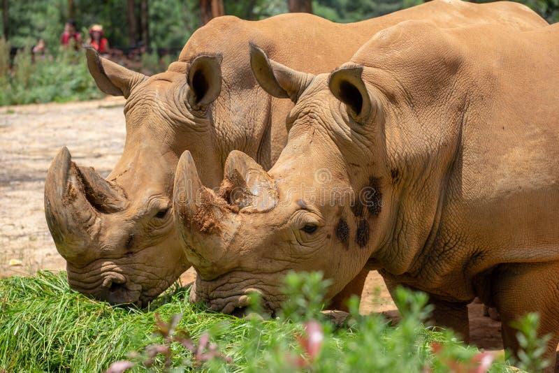 De rinoceros is het grootste hoofed dier van de wereld De rinoceros heeft korte benen en onhandig lichaam De voor en achterlidmat stock foto's
