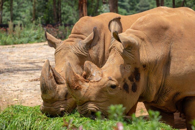 De rinoceros is het grootste hoofed dier van de wereld De rinoceros heeft korte benen en onhandig lichaam De voor en achterlidmat royalty-vrije stock afbeelding