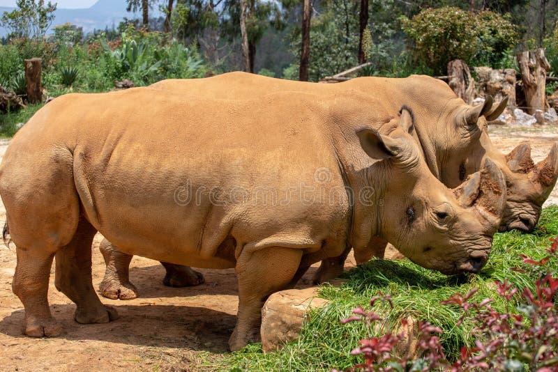 De rinoceros is het grootste hoofed dier van de wereld De rinoceros heeft korte benen en onhandig lichaam De voor en achterlidmat royalty-vrije stock foto's