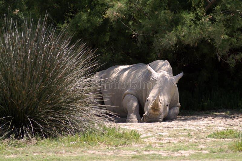 De rinoceros ligt in de schaduw van de struiken royalty-vrije stock foto's