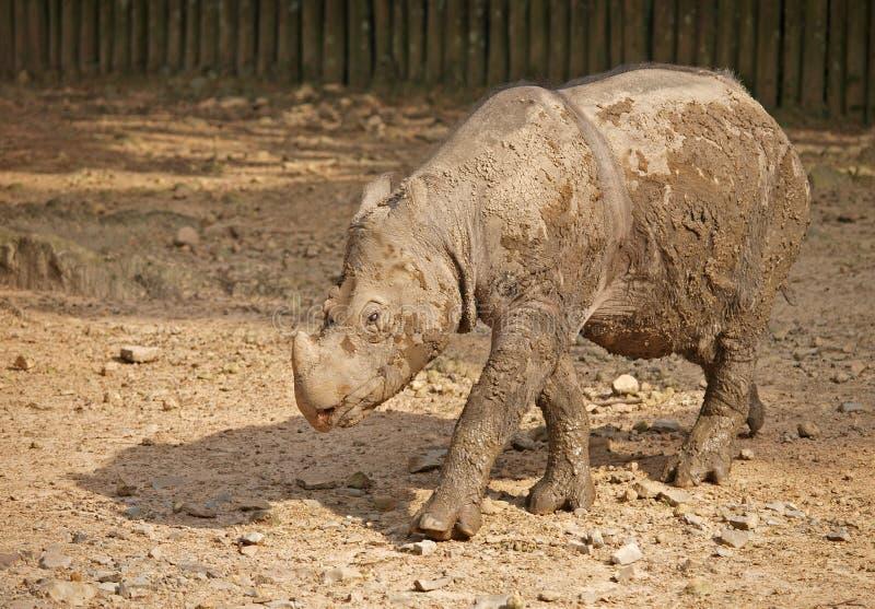 De Rinoceros van Javan (sondaicus van de Rinoceros) stock afbeeldingen